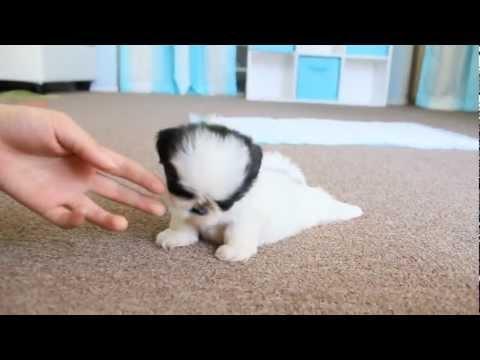 Cute Teacup Puppy Shih Tzu
