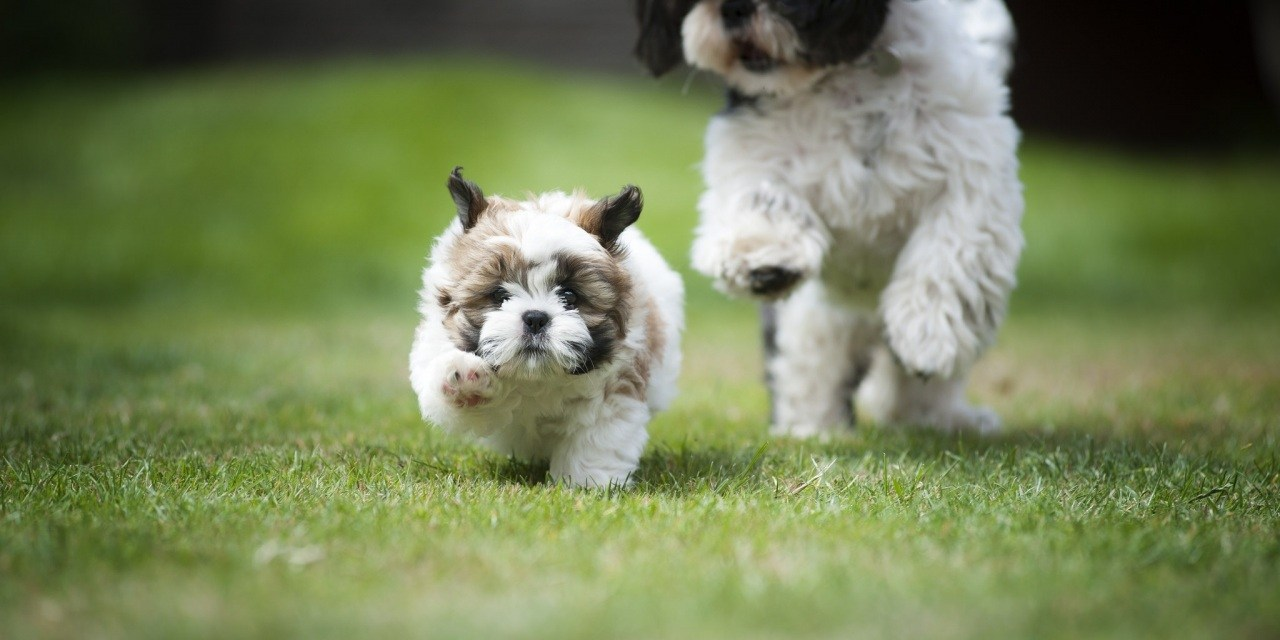 Networking When Adopting A Shih Tzu