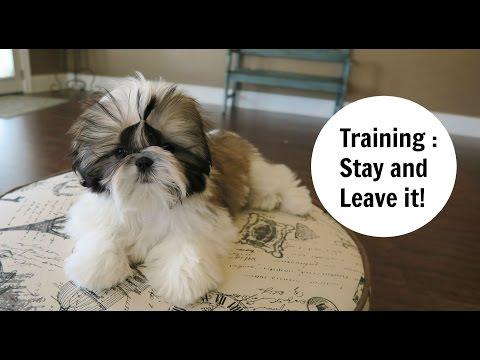 Shih Tzu Puppy Training Techniques