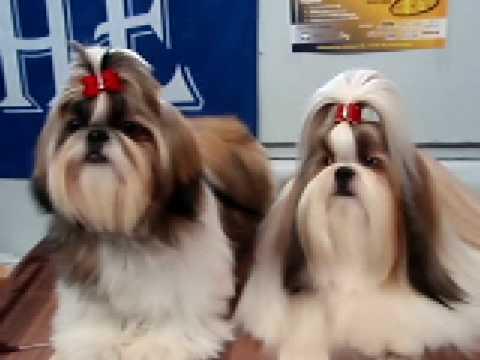 shih tzu in the dog show