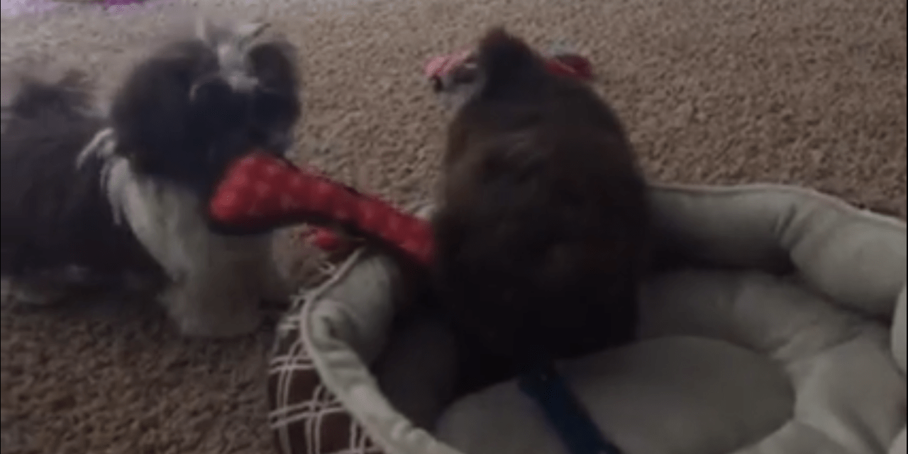 Shih Tzu Puppies playing and someone is jealous
