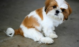 Shih Tzu Obedience Training
