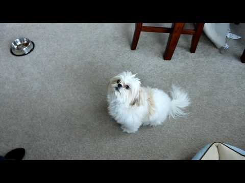 Dog Training: Dancing Shih Tzu Puppy Fur
