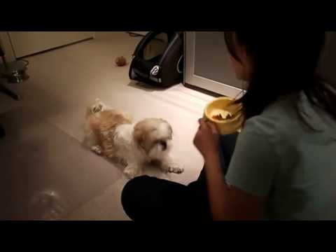 Sweet And Cute Shih Tzu Dog Training