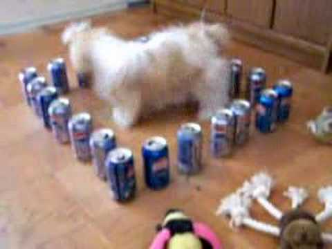 Funny Shih Tzu in the Pepsi Cans Barricade
