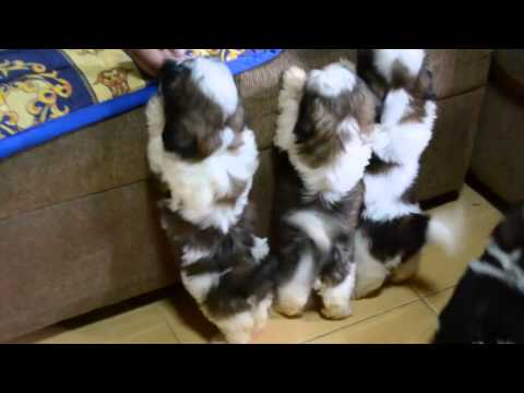 Shih Tzu Puppies After The 1st Bath – Cute Video