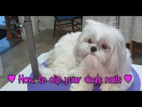 How To Clip Your Dog's Nails – How To Groom Your Shih Tzu