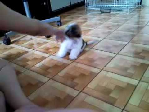 Shih Tzu Training – Only 2Mths Old