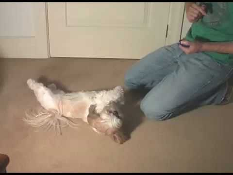 Shih Tzu Play Dead Dog Trick.
