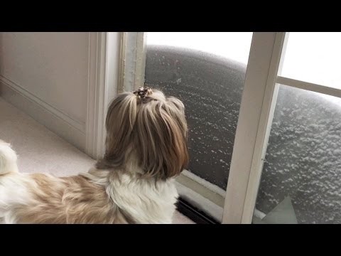Shih Tzu Dog Lacey | Blizzard Of 2016 | Indoor Dog Potty | See Lexi Cat