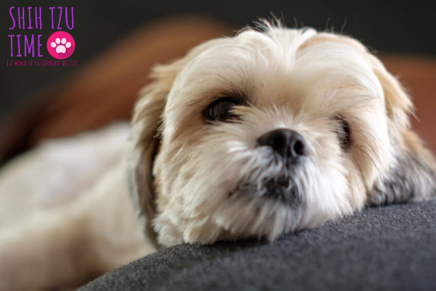 taking care of shih tzu in heat cycle