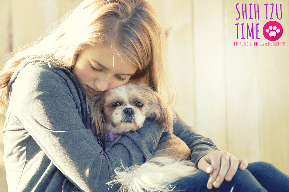 keeping safe your shih tzu in heat cycle