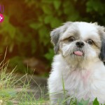 Shih Tzu Heat Cycle: Symptoms and Tips