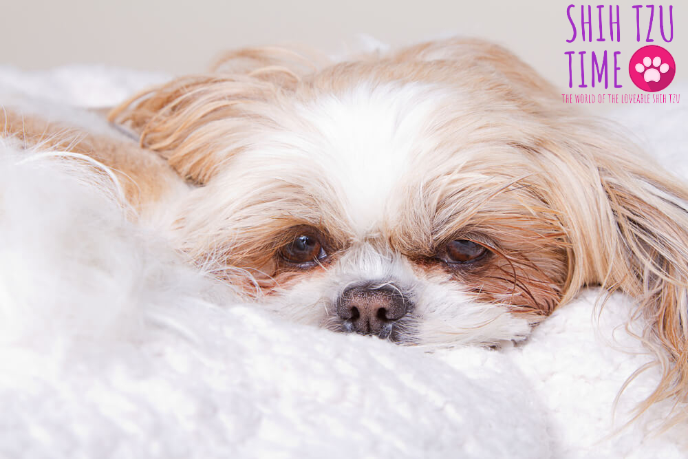 Seizures in Shih Tzu Dogs