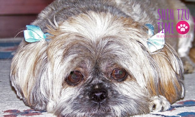 Understanding Anxiety and its Symptoms in a Shih Tzu