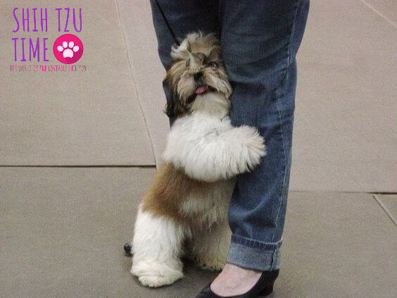 WHAT ARE THE SYMPTOMS OF ANXIETY IN A SHIH TZU?