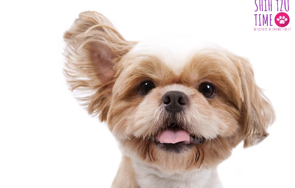 How to Stop Your Shih Tzu Ears from Smelling