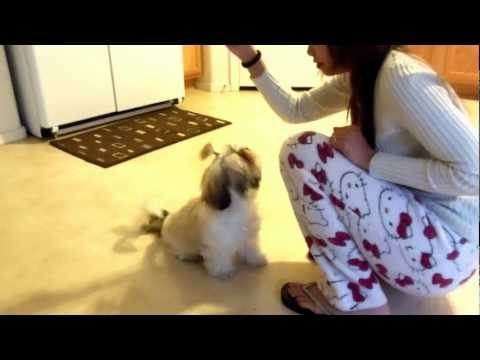 Shih Tzu Puppy Training