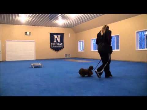 Dewei Chang (Shitzu) Dog Training Boot Camp Video