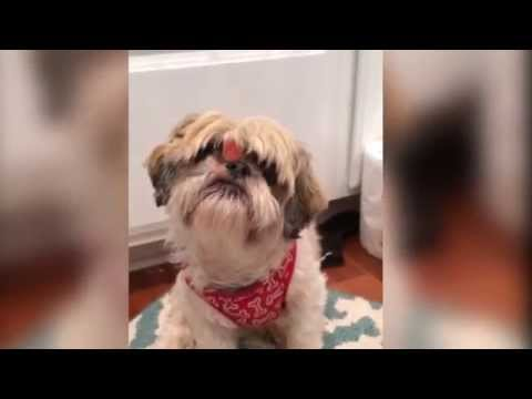Shih Tzus, Labs and Friends Fun Compilation