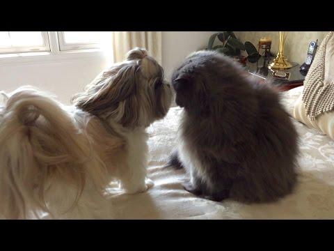 Happy Lacey and grumpy Lexi | Zoomies | Shih Tzu dog | Blue Persian cat