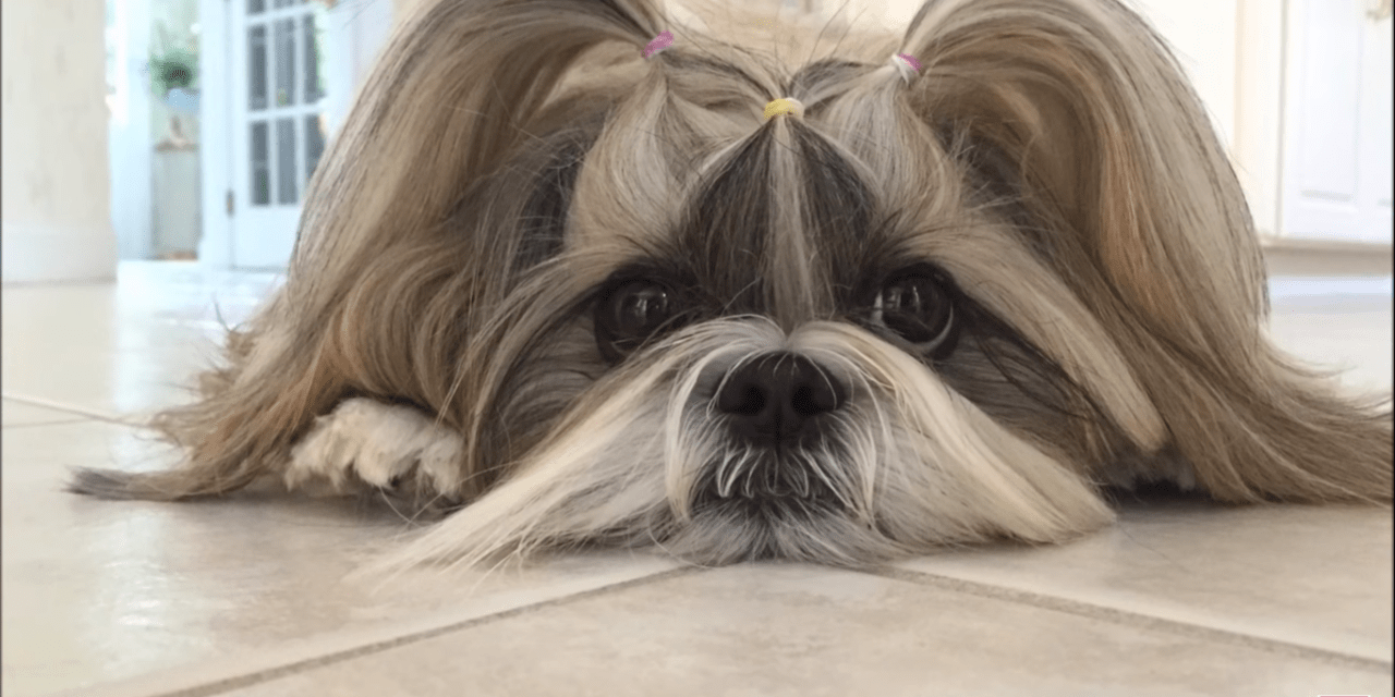 Happy 15th birthday ? to Lexi ? | Blue Persian cat ? | with Shih Tzu dog Lacey ?