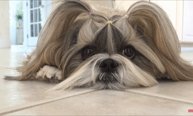 Lacey doesn't have enough toys ? | Crazy hair ? | Shih Tzu dog ?