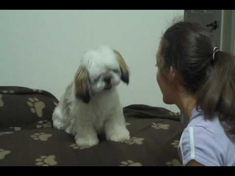 Cute Shih Tzu – training