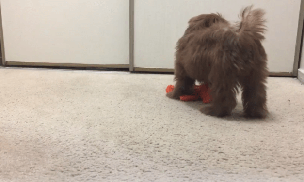 ADORABLE SHIH TZU PUPPY SAVES OWNER FROM BEING TRAPPED IN CLOSET!!!!!!!!!