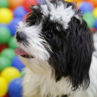 Black White Shih Tzu