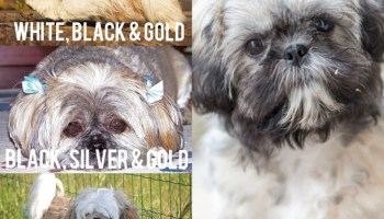 Shih Tzu Hairstyles What You Need To Know Shih Tzu Time