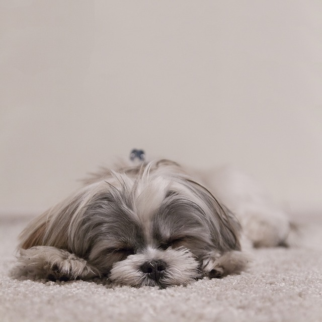 So – you want a Shih Tzu?