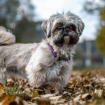 Caring for an Old Shih Tzu