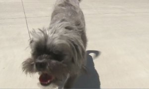 Once abandoned, Murdock the blind shih tzu ready to be adopted