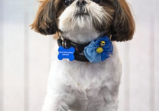 We Want To Help Bertie Run Again – Shih Tzu Love