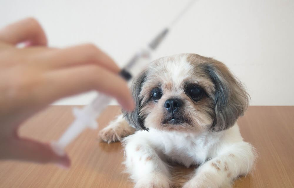 Shih Tzu Vaccination – All You Need To Know