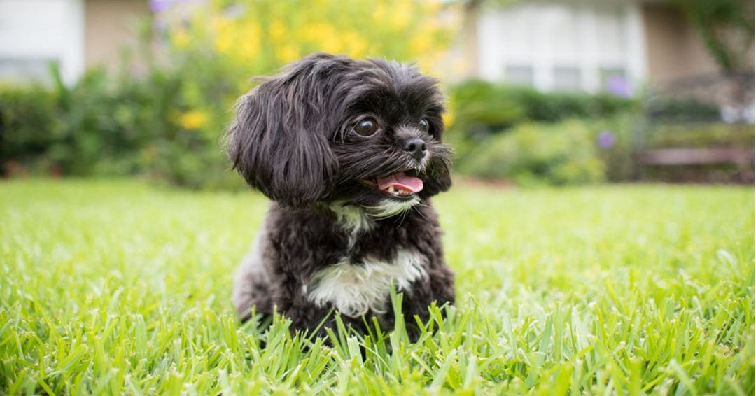 black shih tzu playing in the grass