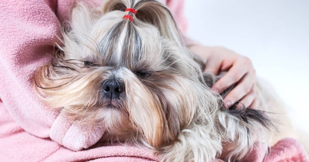 Shih Tzu Sleeping Behaviors and Disorders