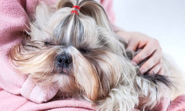 Shih Tzu Sleeping Behaviors and Disorders