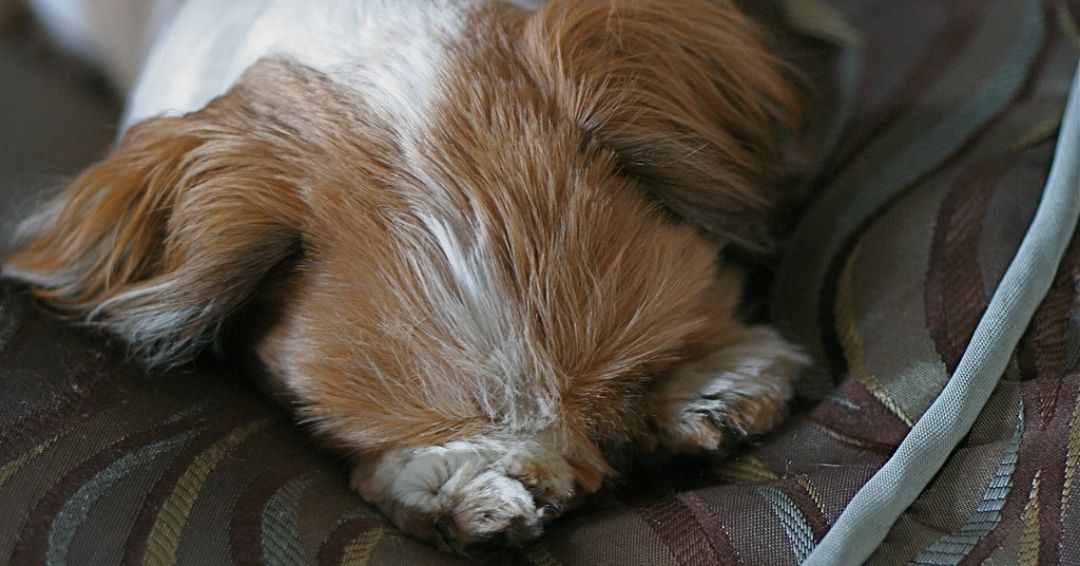 shih tzu taking a nap