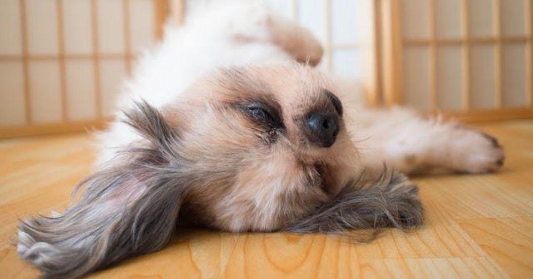 cute shih tzu sleeping on the wooden tile