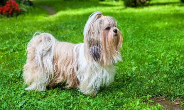 Buying A Shih Tzu – Top Tips