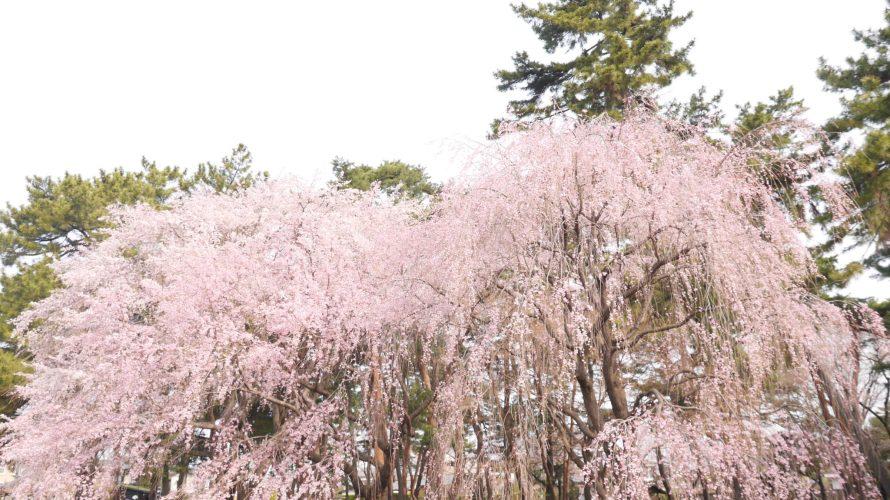 3/29さくら開花状況