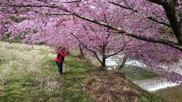 iya valley cherry blossoms