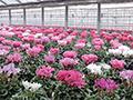 明和町花卉研究会の直売所
