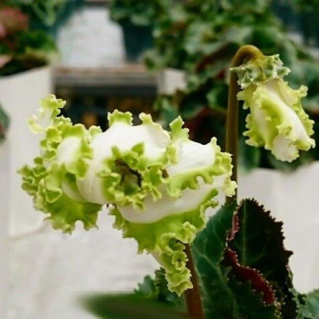 カラーチェック日に日に涼しくなってきて、だんだんと花の色がのってきました。本格的に冬に入る頃にはもっと鮮やかに彩色してきます。#花 #はな #シクラメン #キレイ