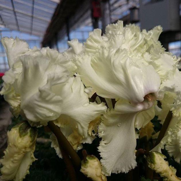 シクラメン、ゴールドイルミネーション #花 #はな #シクラメン  #キレイ #花のある生活 #flower #花が咲くまで#ゴールドイルミネーション