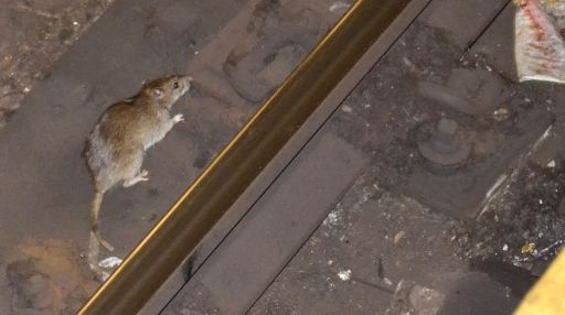 NYC's Wildlife Rats