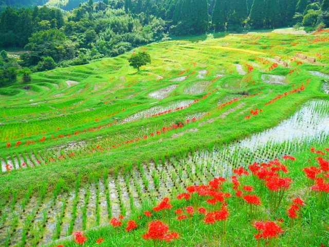 田んぼに咲く曼珠沙華の花