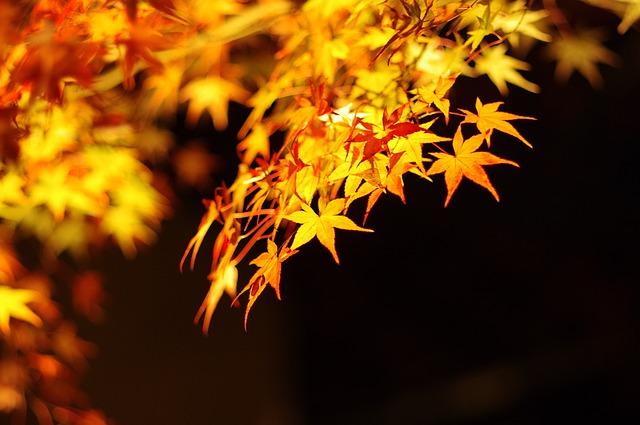 金色に輝くライトアップされた紅葉